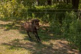 little brown horse running